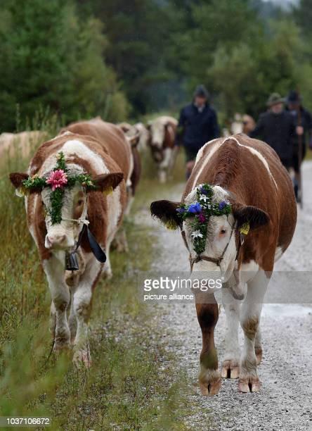 Farmers heard cows at the traditional 'Almabtrieb' mountain event in Kruen, Germany, 17 September 2016. Photo:ANGELIKAWARMUTH/dpa | usage worldwide