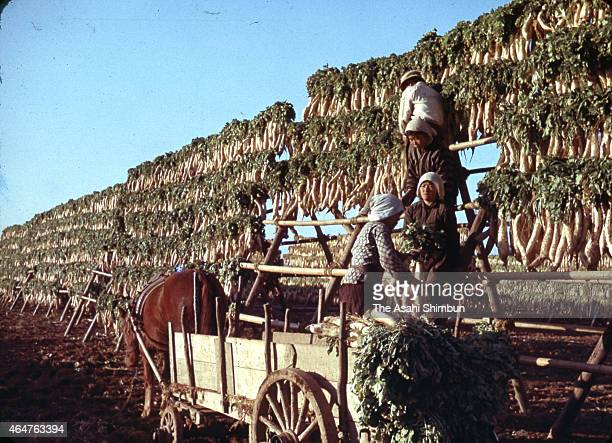 Farmers hung Japanese radish on December 25 1953 in Usa Oita Japan The radish are dried to produce Japanese pickles