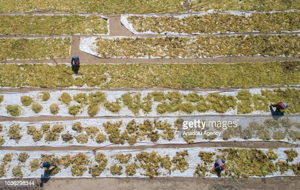 Farmers lay out the harvested grapes from vineyards for sundrying onto a land at high hills of the Sarigol district of Manisa Turkey on September 19...