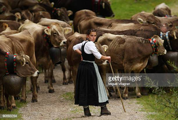 Farmers lead cattle down from the mountains on September 11 2009 in Bad Hindelang Germany Up to 800 cattle returned to the valley after spending 100...
