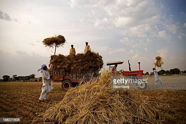 Farmers load stacked bundles of wheat onto a tractor using pitchforks during a harvest in the Fatehganj district of Punjab province Pakistan on...