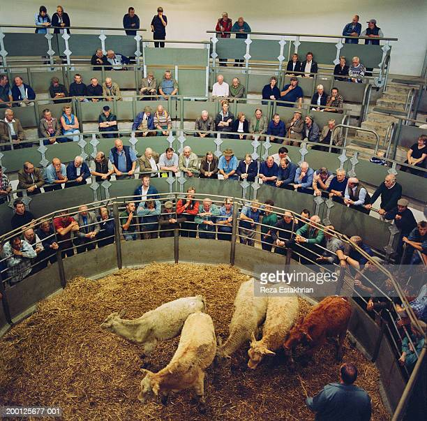 farmers looking at cattle being sold at auction - auction stock pictures, royalty-free photos & images