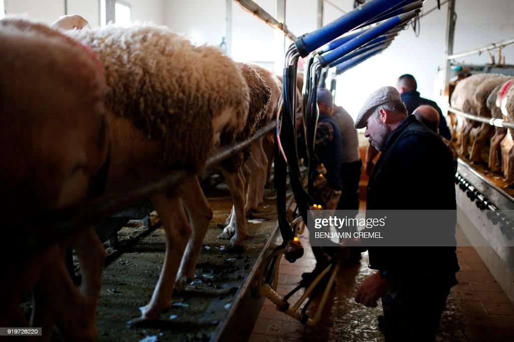 Farmers milk Manchegan sheep at a barn in the outskirts of La Solana