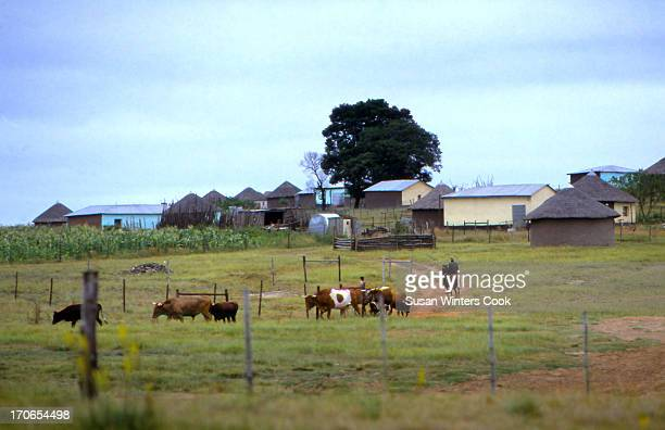 Farmers move cows along a dirt road in Qunu Transkei South Africa 1988 During the apartheid era Transkei was one of several governmentdesignated...