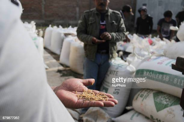 Farmers pack the rice grain into sacks before being brounght to the millingafter harvest in Sukatani village Bekasi regency West Java on May 7 2017...