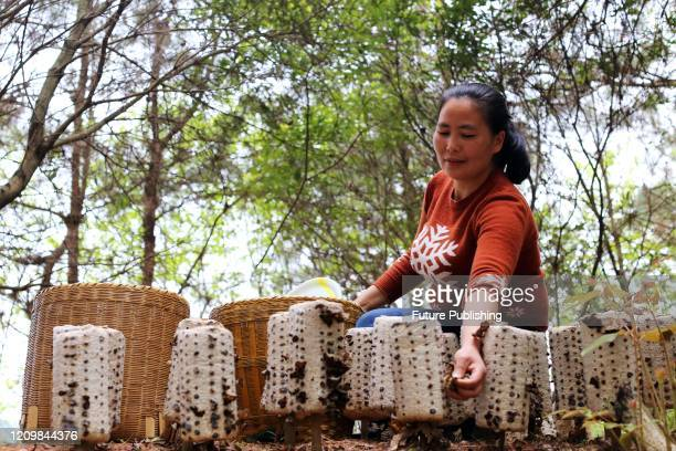 Farmers pick black fungus to supply markets in Jinping County, Guizhou Province, China, April 13, 2020.- PHOTOGRAPH BY Costfoto / Barcroft Studios /...