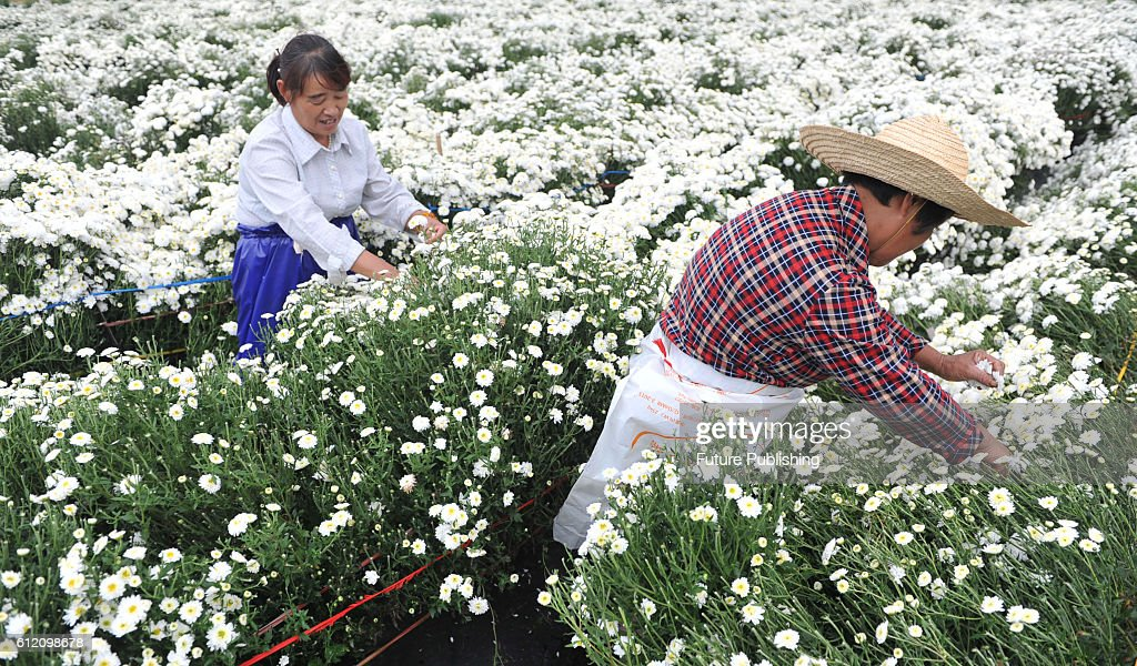 Chrysanthemum flowers harvesting in china pictures getty images linan china october 02 farmers pick chrysanthemum flowers in a workshop mightylinksfo
