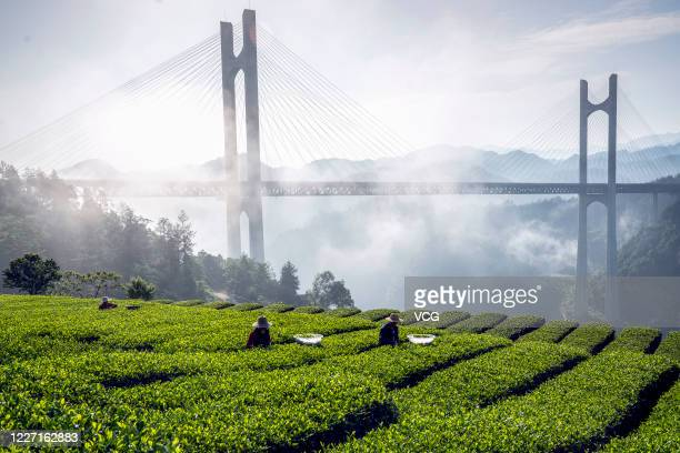 Farmers pick tea leaves at a tea garden in front of fog-surrounded Gongshuihe Bridge on May 23, 2020 in Enshi Tujia and Miao Autonomous Prefecture,...