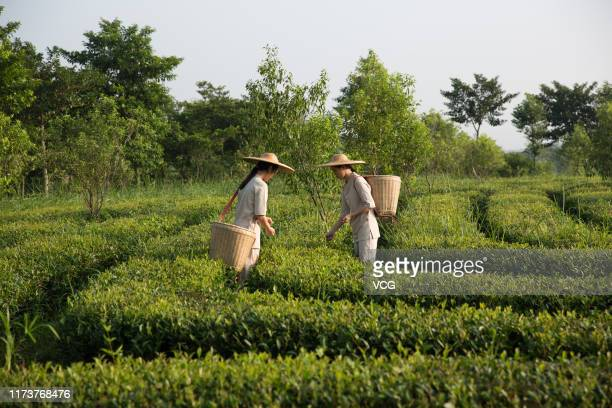 Farmers pick tea leaves at a tea garden on September 7 2019 in Zhanjiang Guangdong Province of China