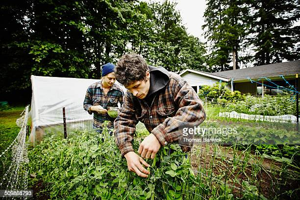 Farmers picking fresh peas from vines in garden