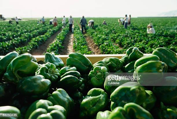 farmers picking green bell peppers - pimiento verde fotografías e imágenes de stock