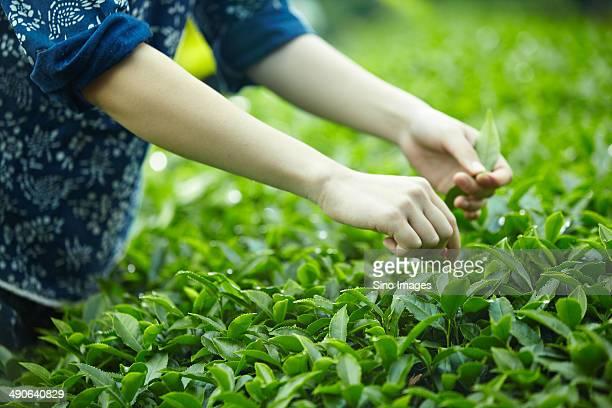 Farmers Picking Tea-Leaves in The Tea Fields