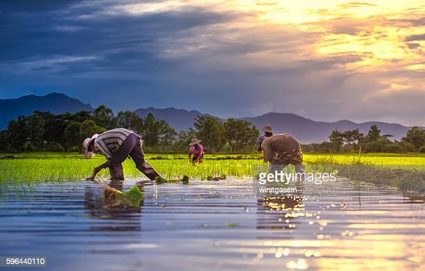farmers - paddy field stock pictures, royalty-free photos & images