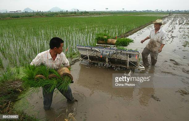 Farmers plant late rice paddy seedlings with a transplanter in a field at the Yuecheng Township on July 29 2009 in Yueqing of Zhejiang Province China...