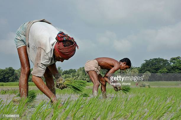 Farmers plant paddy shoots in a field Takerhat Madaripure Bangladesh July 09 2007