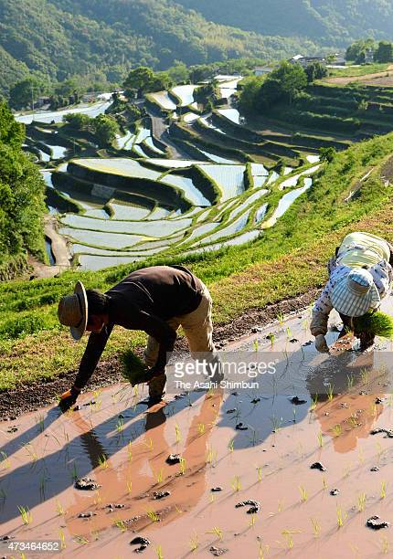 Farmers plant rice at Nakayama rice terrace on May 14, 2015 in Shodoshima, Kagawa, Japan.