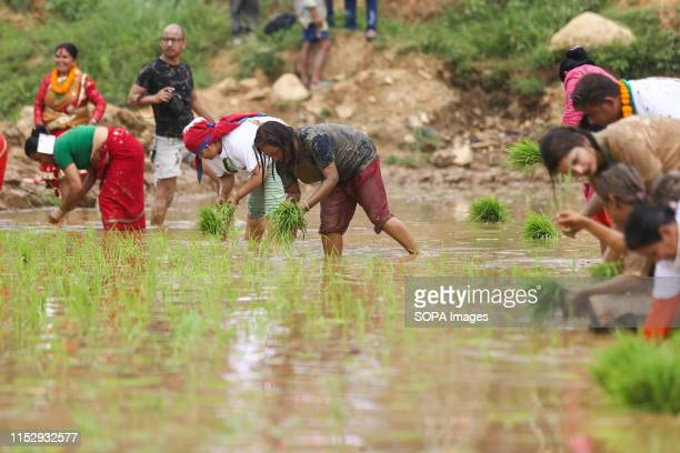 Farmers plant rice crop in muddy water during the Festival Farmers celebrate National Paddy Day Festival on 'Asar 15' of the Nepali calendar as the...