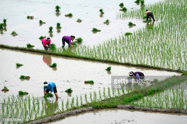 Farmers plant rice in a terraced field on May 28 2020 in Guiding County Guizhou Province of China