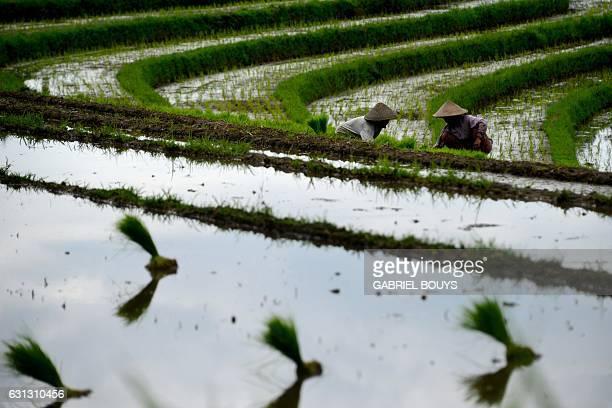 Farmers plant rice in paddy fields near Tabanan, Bali Indonesia, on November 30, 2016. / AFP / GABRIEL BOUYS