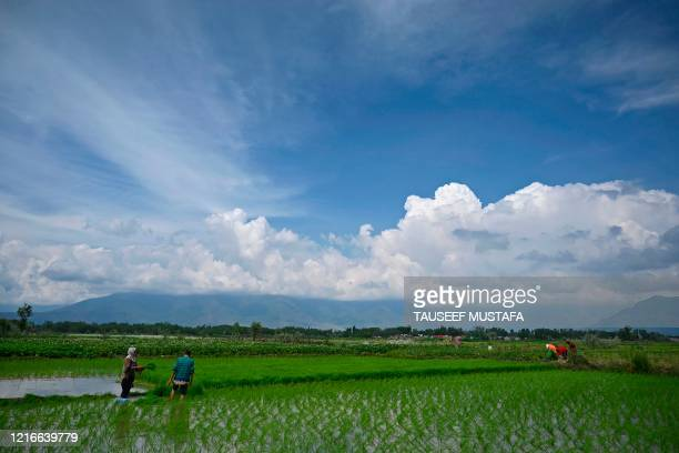 Farmers plant rice saplings at a water-logged rice field on the outskirts of Srinagar on June 1, 2020.