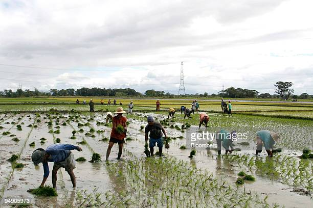 Farmers plant rice seedlings in a paddy field in Nueva Ecija the Philippines on Thursday Jan 17 2008 Chinese companies last year agreed to lease 12...