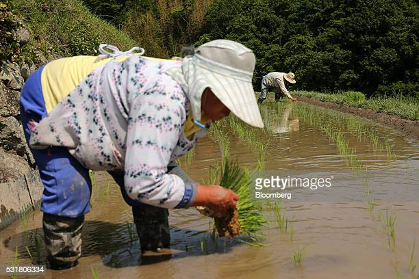 Farmers plant rice seedlings in terraced paddy fields in the Nakayama District of Shodo Island Kagawa Prefecture Japan on Saturday May 14 2016...