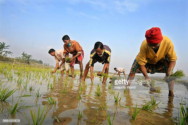 Farmers planting Iri-Boro seeds, a well-known variety of paddy. Farmers work in the field despite the freezing cold in northern Bangladesh to recover...