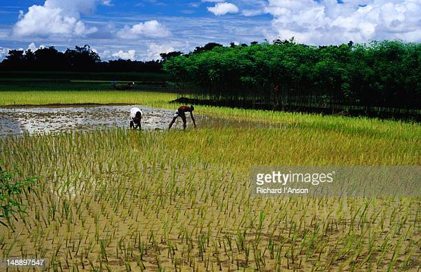 Farmers planting rice alongside jute.