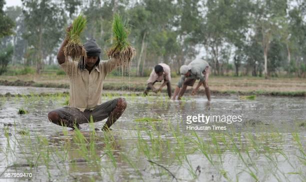 Farmers plants paddy saplings in a field in village Ranbir Sing Pura on June 30 2018 in Jammu India