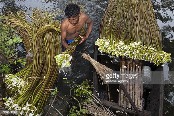 Farmers process water lilies which they collected from a lake to sell them at market near Dhaka Bangladesh on August 05 2016 The livelihood of some...