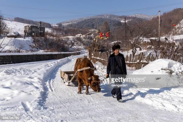 farmers pull ox cart  through the snow road - ox cart fotografías e imágenes de stock