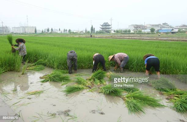Farmers pull up late rice paddy seedlings and prepare to transplant them in other fields at the Yuecheng Township on July 29 2009 in Yueqing of...