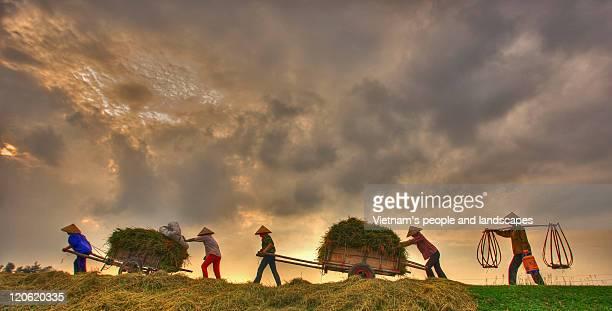 farmers pulling rice cart - ナムディン ストックフォトと画像