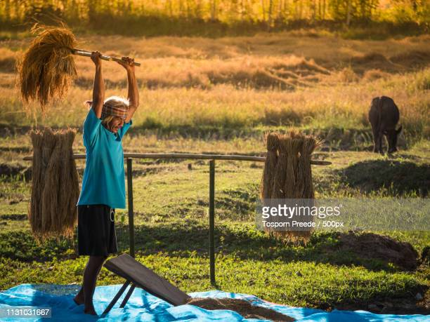 farmers rice grain threshing during harvest time - threshing stock photos and pictures