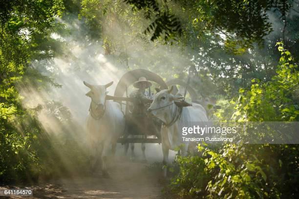 farmers riding on their ox cart in bagan - ox cart stock-fotos und bilder