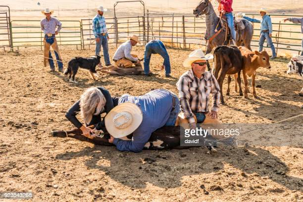 farmers roping cattle for castration - castration stock pictures, royalty-free photos & images