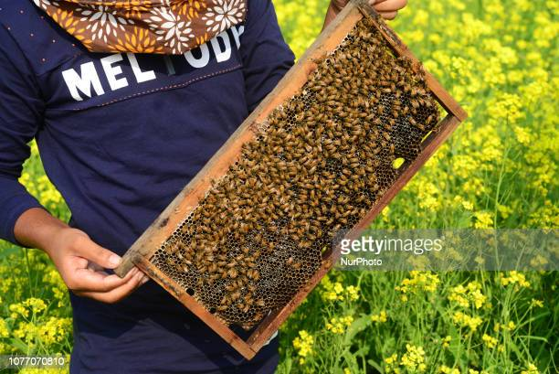 Farmers seen at a honey farm collecting honeycomb from specially prepared box around mustard field in Munshigonj near Dhaka Bangladesh on January 04...