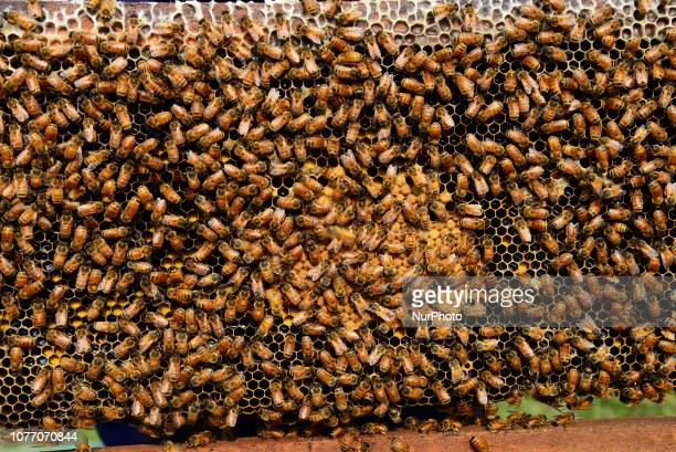Farmers seen at a honey farm collecting honeycomb from specially prepared box around mustard field in Munshigonj near Dhaka Bangladesh on January 04...