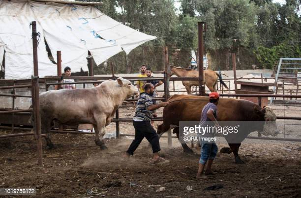 Farmers seen herding cattle out to be displayed to the customers at a market before Eid alAdha in the east of Jabalya refugee camp Eid alAdha is...