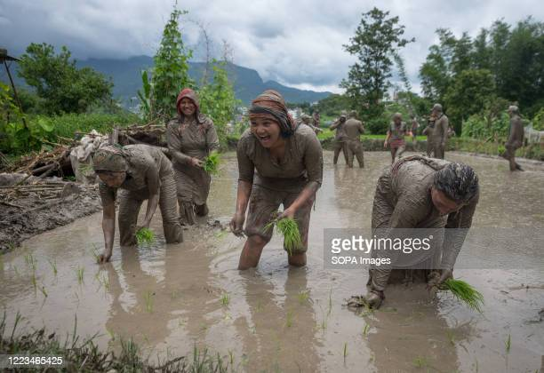 Farmers seen planting the rice seedlings in the paddy field during the National paddy day. Nepalese farmers celebrate National Paddy Day which marks...