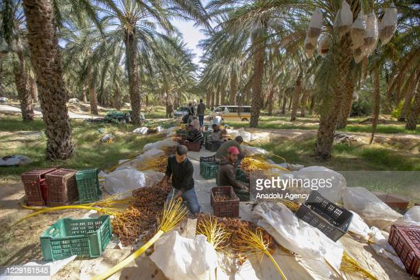 Farmers separate Deglet Nour dates from their branches and put them in boxes during harvest season in Qibili town in Nefzaoua, Tunisia on October 14,...