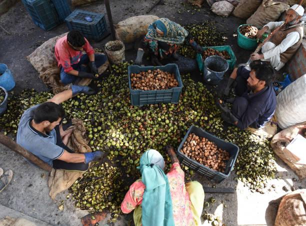 IND: Walnuts Harvesting Begins In Srinagar