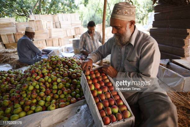 Farmers sort freshly plucked apples in a box during the harvesting season, at the outskirts of Srinagar, on September 22, 2019 in Srinagar, India....