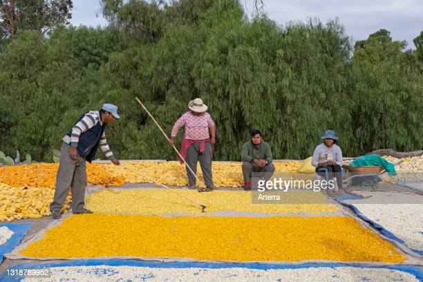 Farmers spreading harvested maize / corn on the ground for drying in the village Tocloca near Tupiza, Sud Chichas Province, Potosí Department,...