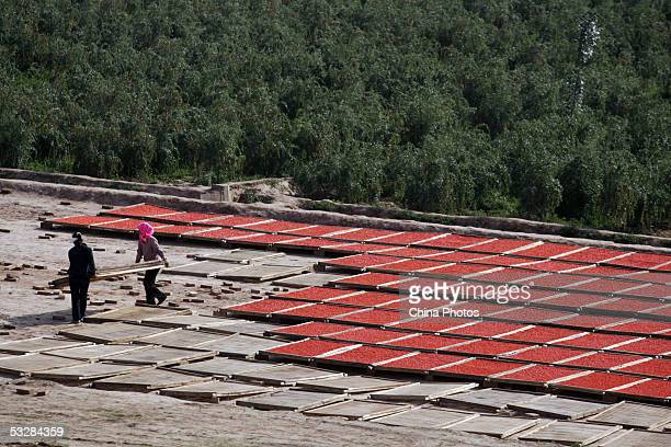Farmers sun harvested medlars at a medlar farm on July 24 2005 in Tongxin County of Ningxia Hui Autonomous Region north China Ningxia is known as the...