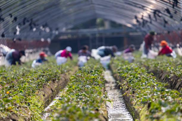 CHN: Strawberry Field In Jishou