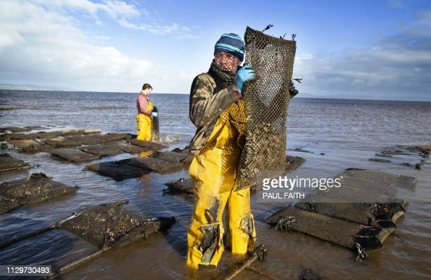 TOPSHOT Farmers tend the oysters at William Lynch's Lynch's Foylemore Oysters farm in Lough Foyle in County Donegal Ireland on March 7 2019 For 20...