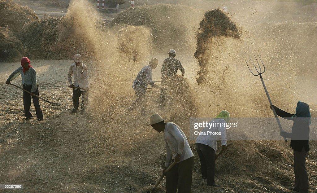 Farmers Harvest Summer Crops : News Photo