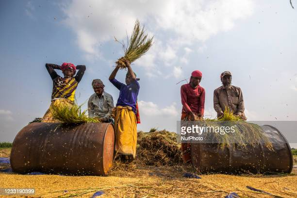 Farmers threshing paddy rice with a traditional style by beating corn shocks against iron drums in paddy field on the outskirts of Dhaka on May 30,...