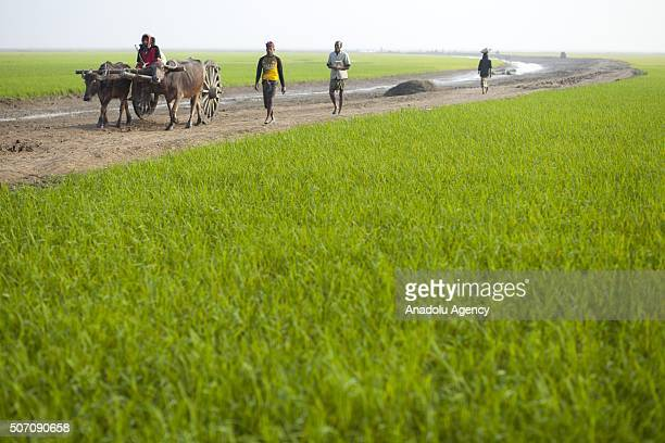 Farmers transplant Boro seedling in the lowlying lands at Haor village in Sunamgonj Bangladesh on January 25 2016 Different of rural lifestyle are...